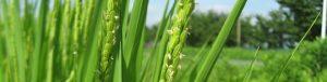 1日しか開花しない、稲の花